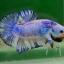 คัดเกรดปลากัดครีบสั้น-Halfmoon Plakat Fancy Dragon thumbnail 4