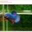 คัดเกรดปลากัดครีบสั้น-Halfmoon Plakat Fancy Dragon Green Red Pink thumbnail 3