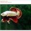 คัดเกรดปลากัดครีบสั้น-Halfmoon Plakat Red Dragon Qaulity Grade thumbnail 11