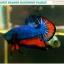 """(ขายแล้วครับ)""""คัดเกรด""""ปลากัดครีบสั้น-Halfmoon Plakats Blue Orange Dragon thumbnail 3"""