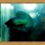 (ขายแล้วครับ)ปลากัดครีบสั้น-Super Green Halfmoon Plakats thumbnail 2