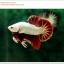 คัดเกรดปลากัดครีบสั้น-Halfmoon Plakat Red Dragon Qaulity Grade thumbnail 3