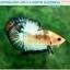 """(ขายแล้วครับ)""""คัดเกรด""""ปลากัดครีบสั้น-Halfmoon Plakats Fancy Dragon Quality Grade thumbnail 7"""