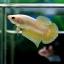 ตอนรับเทศกาล สงกรานต์ ปลากัดครีบสั้น-Halfmoon Plakats Super Gold thumbnail 3