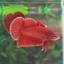 """(ขายแล้วครับ)""""คัดเกรด""""ปลากัดครีบสั้น-Halfmoon Plakats Super Red1 thumbnail 2"""