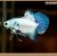 ปลากัดครีบสั้น-Halfmoon Plakat Fancy Marble thumbnail 3