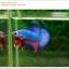 คัดเกรดปลากัดครีบสั้น-Halfmoon Plakat Fancy Dragon Green Red Pink thumbnail 5
