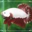 """(ขายแล้วครับ)""""คัดเกรด""""ปลากัดครีบสั้นเทพมากๆสวยแบบเนียนลงตัว-Halfmoon Plakats Red Dragon2 thumbnail 3"""