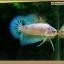 คัดเกรดปลากัดครีบสั้น-Halfmoon Plakat Fancy Marble Nice Quality Grade thumbnail 3