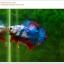 คัดเกรดปลากัดครีบสั้น-Halfmoon Plakat Fancy Nice Colors Dragon Quality Grade thumbnail 8