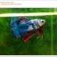 คัดเกรดปลากัดครีบสั้น-Halfmoon Plakat Fancy Nice Colors Dragon Quality Grade thumbnail 10