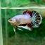"(Sold Out)""คัดเกรด""ปลากัดครีบสั้น-Halfmoon Plakats Fancy Colors Full thumbnail 4"