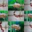 """(ขายแล้วครับ)""""คัดเกรด""""ปลากัดครีบสั้น-Halfmoon Plakats Fancy Sweet Colors thumbnail 1"""