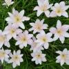 บัวดินพันธุ์Jaiant White/Grand spring