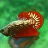 จำหน่ายปลากัดสวยงาม 100 บาท SHOP - ปลากัดครีบสั้น แฟนซี