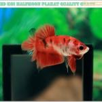 ปลากัดครีบสั้น-Halfmoon Plakat Fancy Red Koi