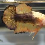 ปลากัดคัดเกรดครีบสั้น - Halfmoon Plakad Copper Marble Quality Grade