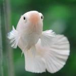 แบ่งแม่พันธุ์ปลากัดคัดเกรดครีบสั้นเพศเมีย - Female Halfmoon Plakad Premium Quality Grade White Platinum AAA+