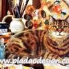 กระดาษสาพิมพ์ลาย สำหรับทำงาน เดคูพาจ Decoupage แนวภาำพ น้องแมวสุดสวย นางแบบมืออาชีพนอนโพสต์ท่าสวย ให้เจ้าของวาดรูป