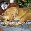 กระดาษสาพิมพ์ลาย สำหรับทำงาน เดคูพาจ Decoupage แนวภาพ ลูกแมวตัวน้อย พยายามปลุกพี่หมาตัวใหญ่มาเล่นกัน thumbnail 1