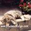 กระดาษสาพิมพ์ลาย สำหรับทำงาน เดคูพาจ Decoupage แนวภาพ แมวลายสวยนอนอาบแดด ตะแคงหน้ามอง thumbnail 1